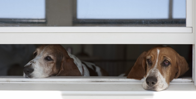 Beagles look out open window with no window treatment in Miami.